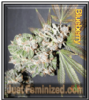 Blueberry Just Feminized Mix & Match Seeds